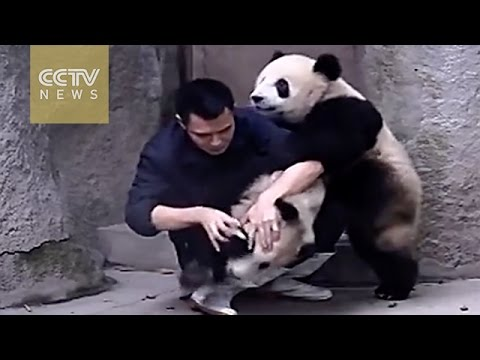 Adorable Alert!Clingy pandas really don't want to get their drugs